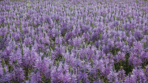 Camassia wallpapers high quality