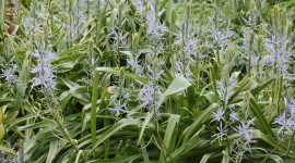 Camassia Wallpaper