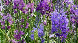Camassia Wallpaper For Android#1