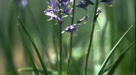 Camassia Wallpaper For IPhone