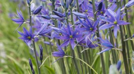 Camassia Wallpaper For IPhone Download