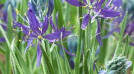 Camassia Wallpaper For IPhone#1