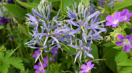 Camassia Wallpaper Free