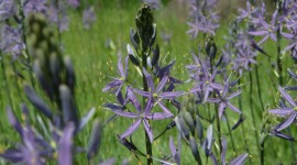 Camassia Wallpaper Gallery