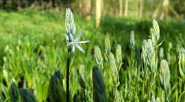 Camassia Wallpaper HQ