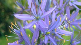 Camassia Wallpaper For Mobile#2