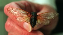 Cicadas Desktop Wallpaper For PC