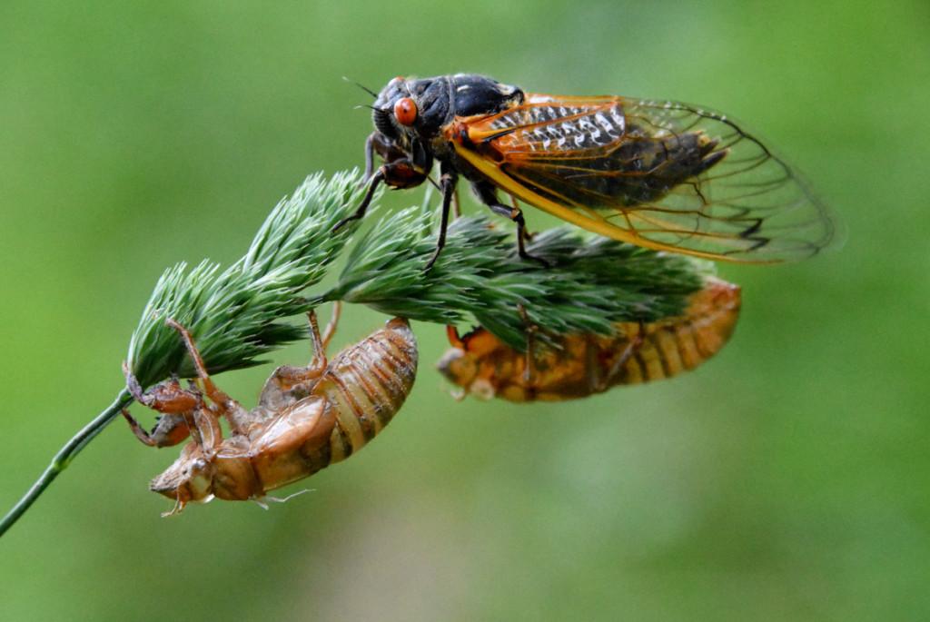 Cicadas wallpapers HD
