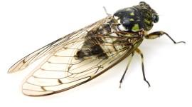 Cicadas Wallpaper Download Free