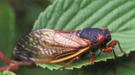 Cicadas Wallpaper Free