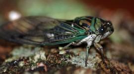 Cicadas Wallpaper Full HD