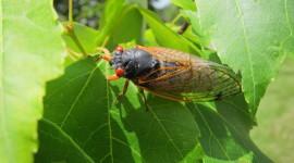 Cicadas Wallpaper Gallery