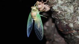 Cicadas Wallpaper HD