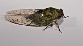 Cicadas Wallpaper HQ