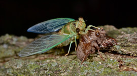 Cicadas Wallpaper High Definition