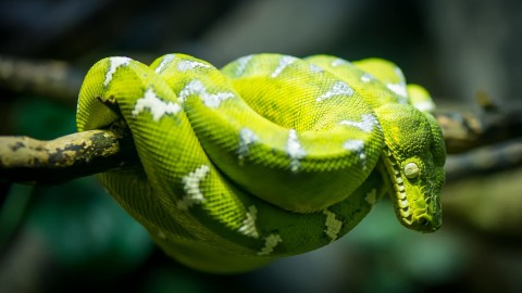 Emerald Tree Boa wallpapers high quality