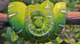 Emerald Tree Boa Wallpaper Download