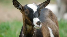 Goat Desktop Wallpaper For PC