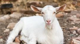Goat Desktop Wallpaper HQ