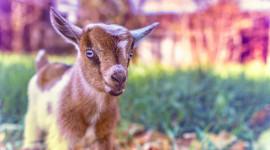 Goat Wallpaper 1080p