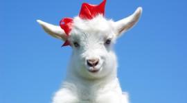 Goat Wallpaper For Desktop