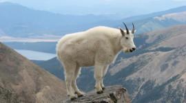 Goat Wallpaper Gallery