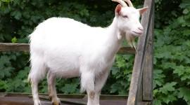 Goat Wallpaper HQ