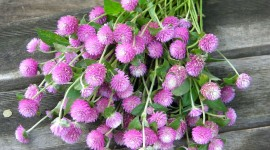Gomphrena Image Download