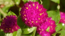 Gomphrena Photo Download