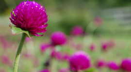 Gomphrena Picture Download