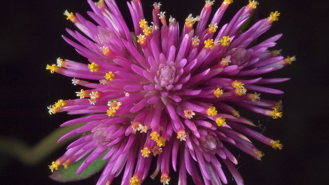 Gomphrena wallpapers high quality