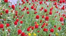 Gomphrena Wallpaper For IPhone