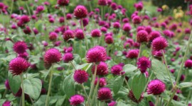 Gomphrena Wallpaper Full HD