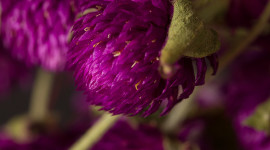 Gomphrena Wallpaper Gallery