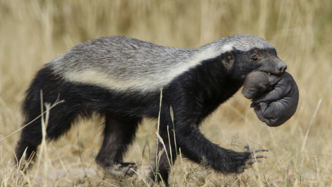 Honey Badger wallpapers high quality