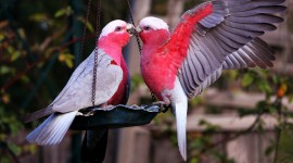 Love Birds Desktop Wallpaper Free