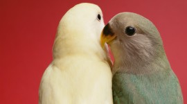 Love Birds Desktop Wallpaper HD