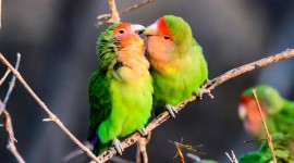 Love Birds Desktop Wallpaper HQ