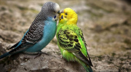 Love Birds Wallpaper 1080p