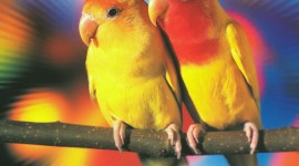 Love Birds Wallpaper Background