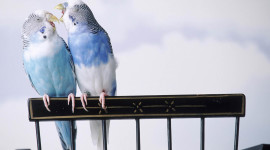 Love Birds Wallpaper Download