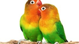 Love Birds Wallpaper For Desktop