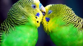 Love Birds Wallpaper Free