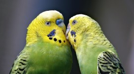 Love Birds Wallpaper HQ