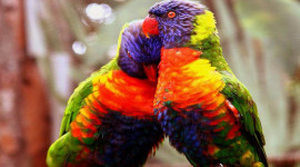 Love Birds Wallpaper High Definition