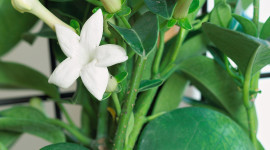 Madagascar Jasmine Image