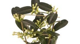 Madagascar Jasmine Image Download