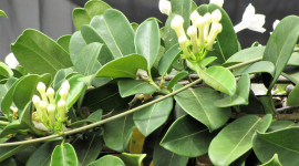 Madagascar Jasmine Photo Download