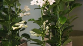 Madagascar Jasmine Wallpaper For Android