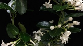 Madagascar Jasmine Wallpaper For IPhone